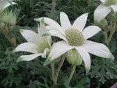 フランネルフラワー フェアリーホワイト 花苗 白い花 大株 花芽付きで毎年楽しめる丈夫な花 販売 通販 種類【楽ギフ_包装】
