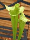 ドラモンディー(お部屋のマスコットに♪)【食虫植物】ドラモンディー(お部屋のマスコットに...