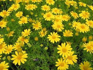 ダークベルクデージー3株セット 花苗 優しげな黄花が風にそよぐ人気の花でドーム状の大株に育ち...