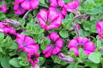 ペチュニア朝倉ろまん苗色鮮やかな複色咲きが魅力的な花苗花芽付き販売通販種類