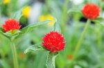 千日紅ストロベリーフィールド花苗千日紅の中でもひときわ色鮮やかな花色で切り花やドライフラワーに人気販売通販種類