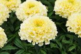 マリーゴールド バニラ苗3株セット 花苗 花芽付き まるでバニラのような色をした大輪の花を咲かせるマリーゴールド 派手さはないけどさりげない素敵な花です 販売 通販 種類