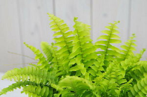 ツデー4号サイズ 鉢植え 浴室に鮮やかなグリーン ガーデニング 観葉植物 販売 通販 種類