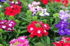 バーベナ苗 4色セット 花苗 別名で美女桜とも呼ばれる可愛らしい花 コンテナガーデン等に最適な...