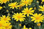 ユリオプスデージー 花苗 花芽付き 黄色 イエロー 花期も長く周年楽しめる花 ユリオプス デージー 販売 通販 種類