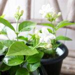 アラビアンジャスミン4号サイズ鉢植え鉢花販売通販種類
