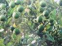 コブミカン 世界三大スープ、トムヤンクンに必ず入っているコブミカンの葉っぱ、いかにもエスニ...