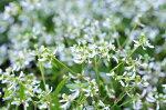 ユーフォルビアダイヤモンドフロスト花苗白い蝶が舞うように咲き誇る寄せ植えガーデニングに最適な花芽付き販売通販種類