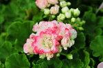 八重咲きゼラニュームアップルブロッサムフリル咲きがとっても可愛い大きく育つと沢山の花を咲かせてくれます花芽付き販売通販種類