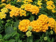 コバノランタナ 黄 花苗 黄色の花をたくさん咲かせる いったん花が終わっても日当たりのよい所...