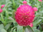 千日紅ラズベリーフィールド花苗ドライフラワーや切り花に人気の花販売通販種類