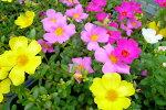 ポーチュラカ6株セット花苗夏の暑さ乾燥に強い手間いらずの花花壇に植えると横に這うように広がり毎日色鮮やかな花を次々咲かせてくれる花販売通販種類
