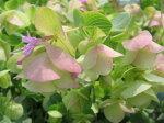 オレガノケントビューティー花芽付き幻想的なピンクの花で寄せ植えのワンポイントにまたハンギング等に最適販売通販種類