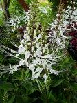 涼しげなネコのヒゲのような白い花♪【ネコノヒゲ苗】【ガーデニング花苗】【toukai3-0705】