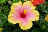 ハイビスカス ミセスユミ5号 花 鉢植え 鉢花【フラワー】ハイビスカス フラワーギフト フラワー プレゼント ギフト <フラワー/Flower>フラワー ふらわー