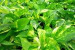 ポトス観葉植物夏にグングン成長する育て易く挿木でも増やせます販売通販種類