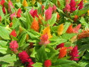 ケイトウミックスMIX苗♪カラフルな花苗 ケイトウ あふれんばかりに植わった可愛らしいケイトウ...