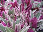 ムラサキオモトシタラ大苗花苗ムラサキの斑入りの葉が綺麗葉色を生かして寄せ植え等にも人気販売通販種類