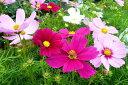 コスモス ミックス MIX 寄せ植え 4号サイズ 鉢植え【鉢花】【コスモス】【Cosmos】Bowl flower ...