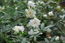 白花 モッコウバラ【花苗】丈夫なつる性でトレリスやアーチ仕立てに最適なバラです 販売 通販 種類
