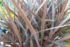 コルジリネレッドスター観葉植物リーフプランツ販売通販種類