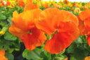 パンジー ディープオレンジ4株♪パンジー 苗 鮮度優先、生産農家、朝取り【花苗】【パンジー苗】【種類】