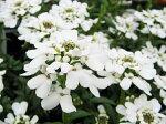 純白の可愛らしい花♪【宿根イベリス】【花苗】【フェスティバル花1101×10】【10P05nov10】