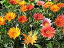 ガザニア苗3種類セット 花苗 丈夫な宿根草で毎年楽しめる色鮮やかな花 晴れると大輪の花がパッ...