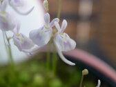 ウサギゴケ うさぎ苔 うさぎ こけ 苔 コケ ウサギコケ 食虫植物