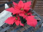 ポインセチア2.5号苗♪可愛らしいミニチュアサイズ【鉢花】【クリスマス】【プレゼント】