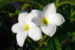 プルメリアプディカ今年開花予定株花苗花嫁のブーケ♪純白の花が魅力です販売通販種類