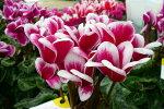 複色咲きが魅力♪【シクラメンファンタジアレッド5号】【鉢花】