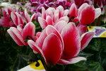複色咲きが魅力♪【シクラメンファンタジアオレンジ5号】【鉢花】