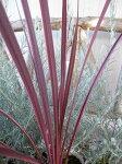 コルジリネエレクトリックピンク4号サイズ観葉植物コルディリネ販売通販種類