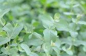 ユーカリ グニー4株セット♪アレルギー対策に!花粉対策にも効果を発揮する植物。気管支炎の症状が和らいでくれます/花苗/ハーブ/シネオール/グリーン/常緑高木/室内