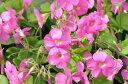 色鮮やかなピンクの花♪オキザリス ボーウィー苗【花苗】【オキザリス】色鮮やかなピンクの花...