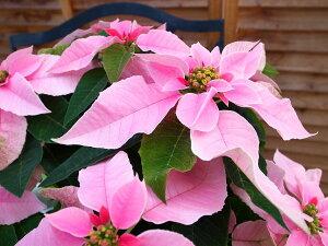 プリンセチア ピンクホワイト5号鉢植え♪ボリューム満点/鉢花/クリスマス/ポインセチア/サント...