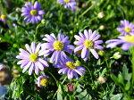 ブルーの小花が魅力♪【ブラキカムマウブディライト大苗】【花苗】