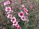 ギョリュウバイ 花苗 梅のような可愛らしい花を次々と咲かせます 寄せ植え、お正月アイテムに人...