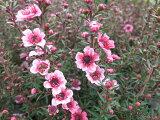 ギョリュウバイ 花苗 御柳梅 梅のような可愛らしい花を次々と咲かせます 寄せ植え お正月アイテム 寄せ植えに人気 ガーデニング 販売 通販 種類