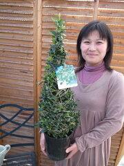 オリーブツリー65cm/ハーブ/オリーブ/ツリー/クリスマスツリー/クリスマス/ツリー/サンタ/サン...