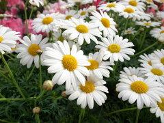 マーガレット サンデーリップル4号鉢植え♪爽やかな純白の大輪花が素敵 鉢花 マーガレット 販...