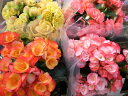 ボリューム満点の花♪リーガースベコニア5号【鉢花】ボリューム満点の花♪リーガースベコニア5...