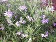 オーストラリアン ローズマリー♪ウェストリンギア5号鉢植え 鉢花 ハーブ 常緑低木 ローズマリー 販売 通販 種類
