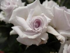 ミニバラ・グラウンブルー4号鉢植え♪今までにない花色【バラ】【鉢花】/販売/通販/種類ミニバ...