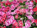 カラフルな花色♪トコナツナデシコ苗3株セット 花苗 販売 通販 種類カラフルな花色♪トコナツナ...