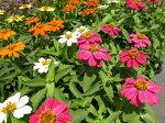 暑さに強い花♪ジニア・プロフュージョン3株セット【花苗】