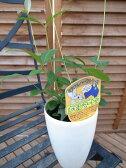 レモンマートル4号サイズ ミラクルハーブ レモンより凄いレモンの香りで葉を摘むと素晴らしい香りが楽しめます ハーブ 販売 通販 種類