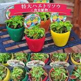 ハエトリソウ 大きなハエトリ草 食虫植物 ハエトリ ハエトリグサ はえとりそう ハエ取草【ラッキーシール対応】