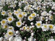 ヘリクリサム 花かんざし ハンギング